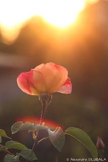 Sunset x Rose