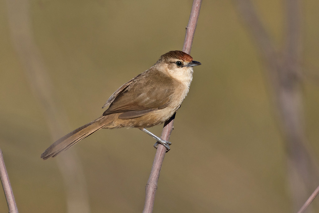 Rufous-fronted Thornbird (Phacellodomus rufifrons)