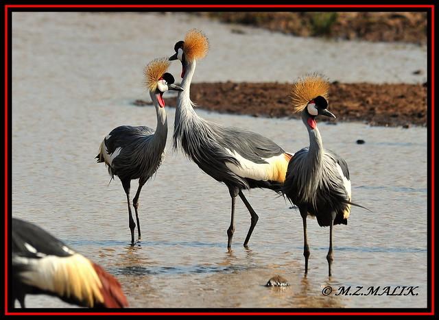 GREY CRESTED CROWNED CRANE BIRDS (Balearica regulorum)......NAIROBI NAT.PARK......AUG,2009