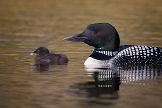 Loon mom & chick | by Rob & Amy Lavoie