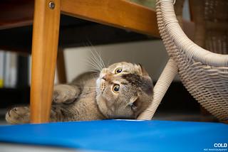 [台北 寵物攝影] 英國短毛貓 蘇格蘭摺耳貓   by cold0328