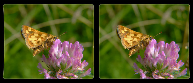 Peck's Skipper - Hodges #4036 (Polites peckius) on Clover 1 - Crosseye 3D