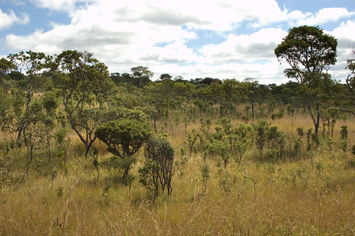 Biofuel plantations in the Miombo woodlands, Zambia | by CIFOR