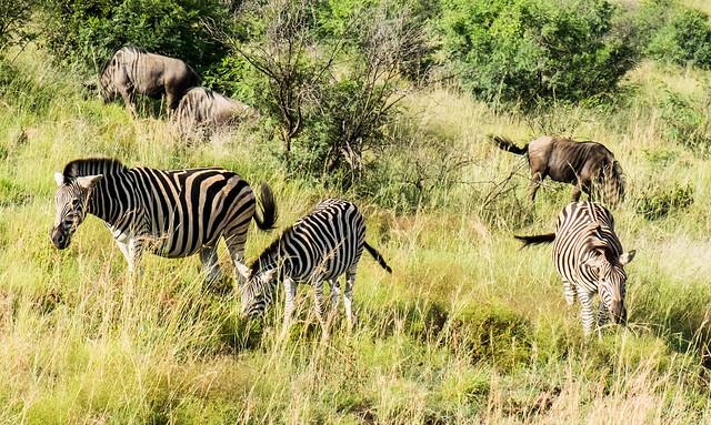 Zebras and gnus, Pilanesberg, South Africa