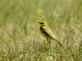 Bergeronnette flavéole - Western Yellow Wagtail (flavissima) - Motacilla flava flavissima | by willy.hugedet