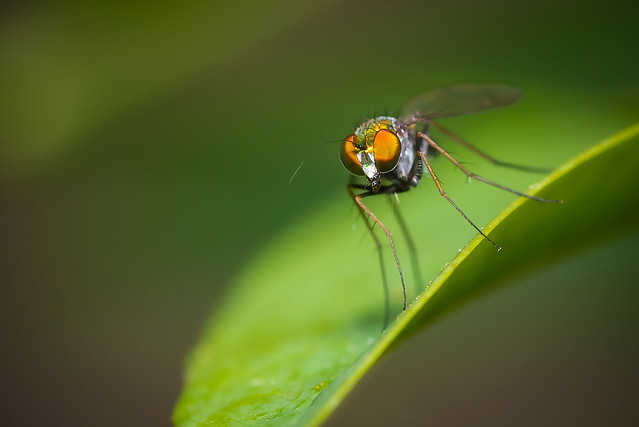 Long-Legged Fly