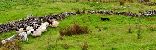 Herdershond aan het werk | by tijsopreis