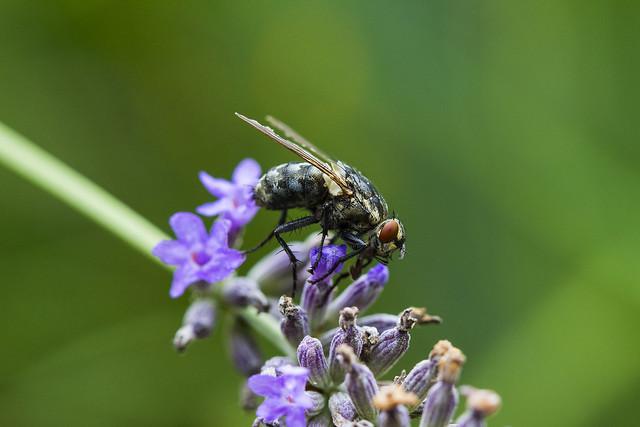 Lazy fly on a lavender