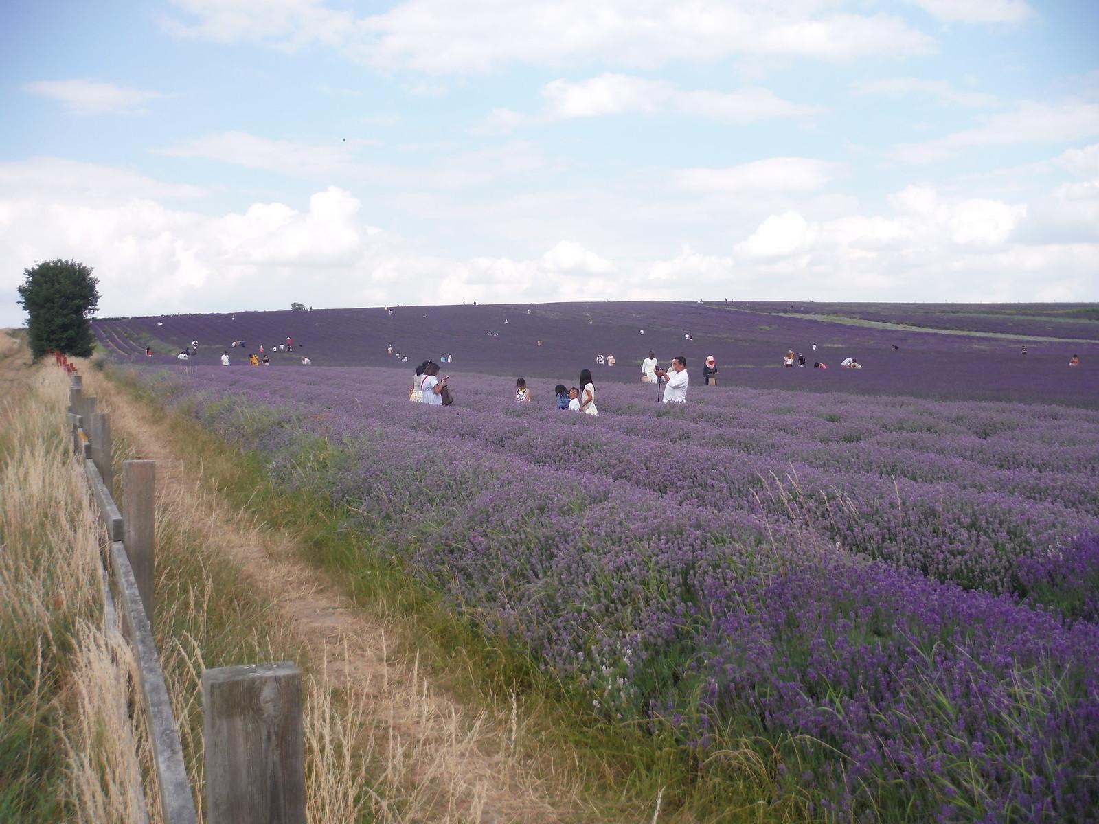 Main Field, Hitchin Lavender (Cadwell Farm) SWC Walk 233 - Arlesey to Letchworth Garden City