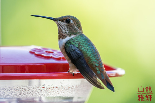 Immature Rufous Hummingbird | by DragonSpeed