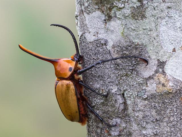 Golofa sp. / Escarabajo rinoceronte