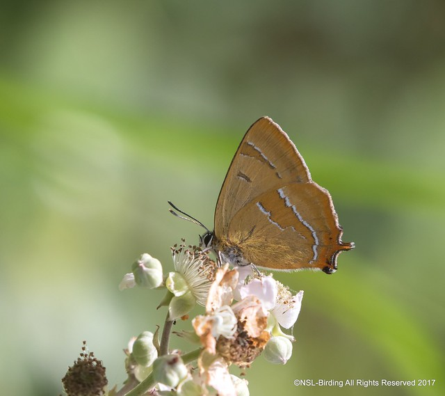 Brown Hairstreak from Alners Gorse