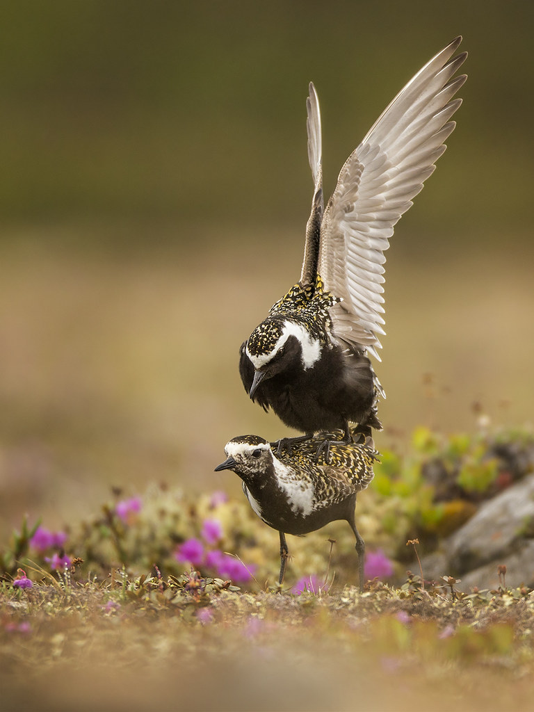 American Golden Plovers in Flagrante Delicto