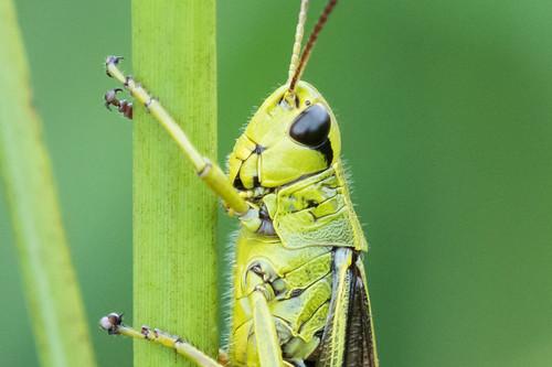 Crop:  Large Marsh Grasshopper / Sumpfschrecke   by NEX69