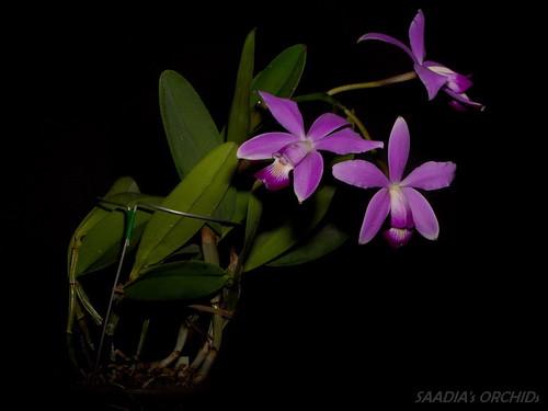 Cattleya violacea (Peruflora) | by TwilightShadow