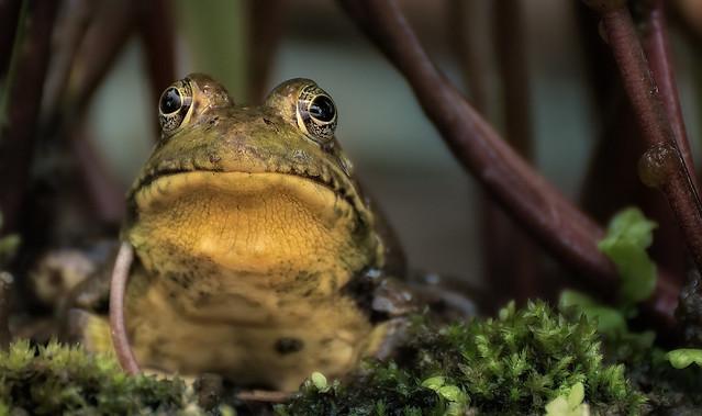 Frog Pose