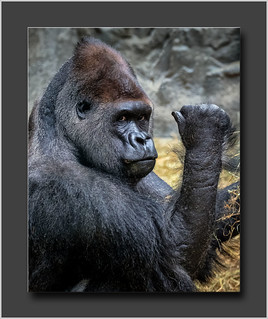 Lowland Gorilla 2 | by David Fehrman