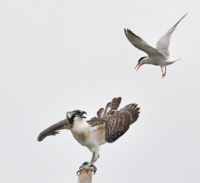 Tern Attacking Osprey 2hh