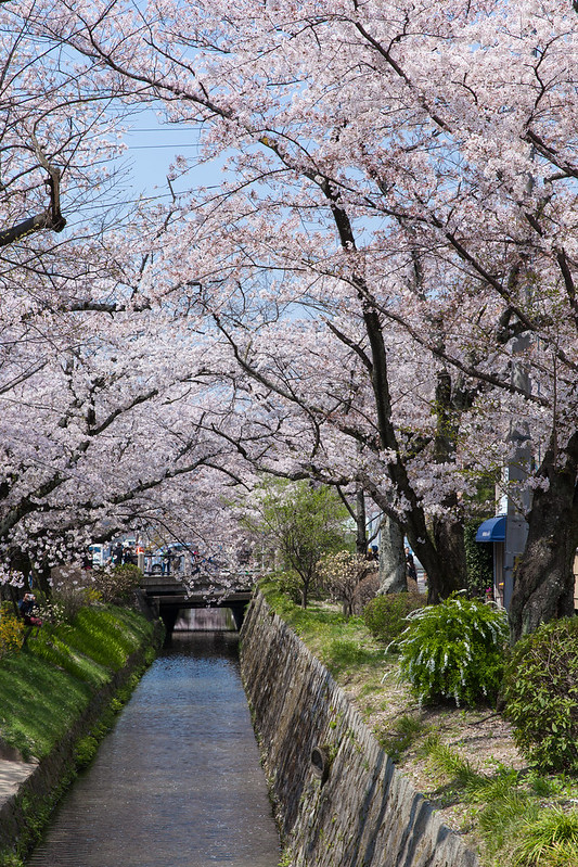 Beautiful sakura along the Philosopher's Walk in Kyoto