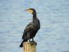 Great Cormorant by Corine Bliek