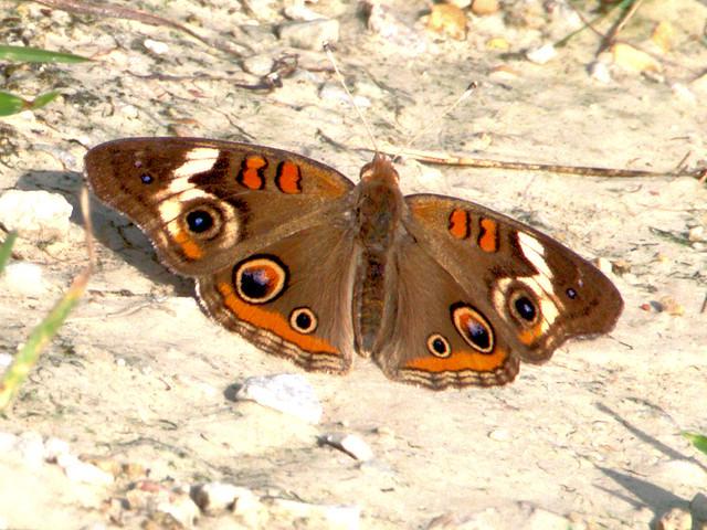 Common Buckeye butterfly 20170721