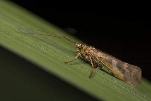 Caddisfly - Limnephilus lunatus