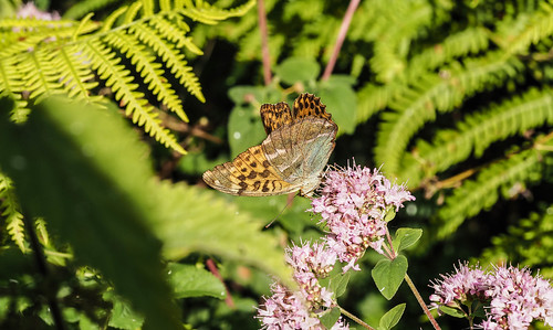 silverwashedfritilary butterflies day201