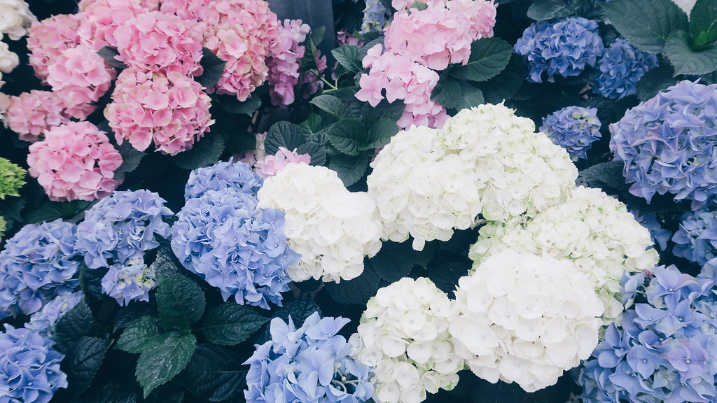 7c7951e8 Hydrangea! They are so colorful I love it 😍 | Follow me on … | Flickr