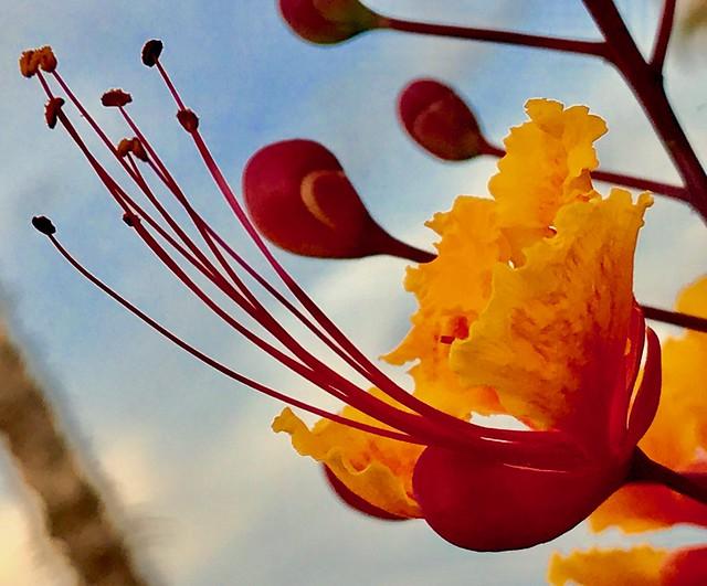 Queen of Barbados Flower 👏🎶👏