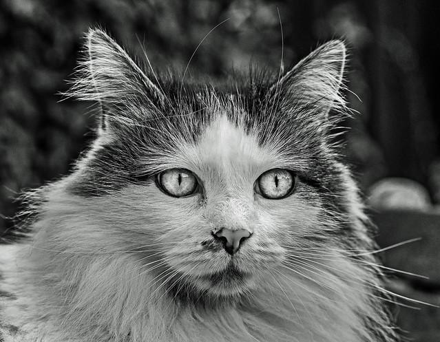 Cat Portrait - Tilly- The 3 legged Cat (BW) (Olympus OM-D EM1-II & Leica DG Noctricon 42.5mm f1.2 Prime)