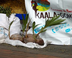 Cocos germés