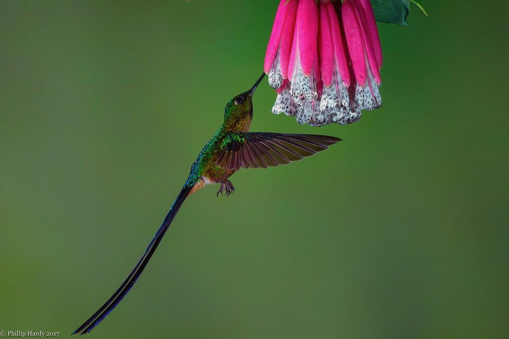 Long Tailed Sylph Hummingbird Photographed In Ecuador Flickr