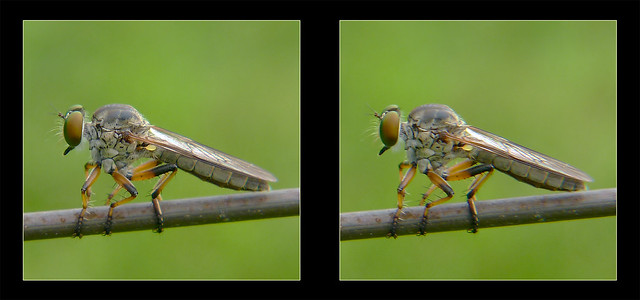Ommatius tibialis, Robber Fly on Wire 1 - Crosseye 3D