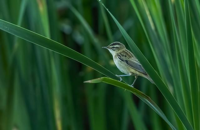 Sedge warbler - Bičja trstnica
