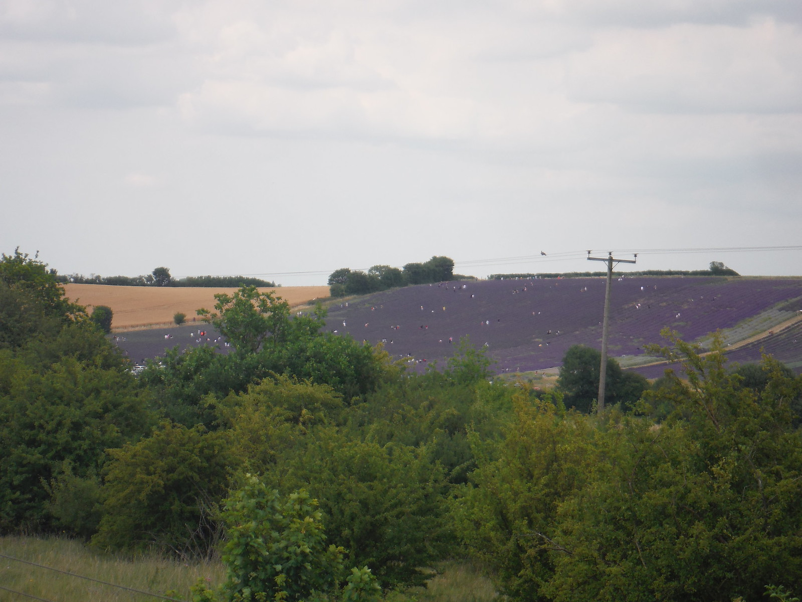 Hitchin Lavender Farm, from bridge over East Coast Mainline SWC Walk 233 - Arlesey to Letchworth Garden City