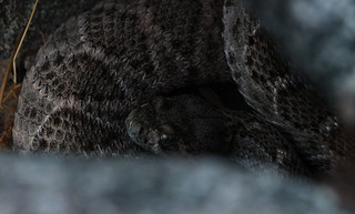 That special look - western diamondback (Crotalus atrox) | by phl_with_a_camera1