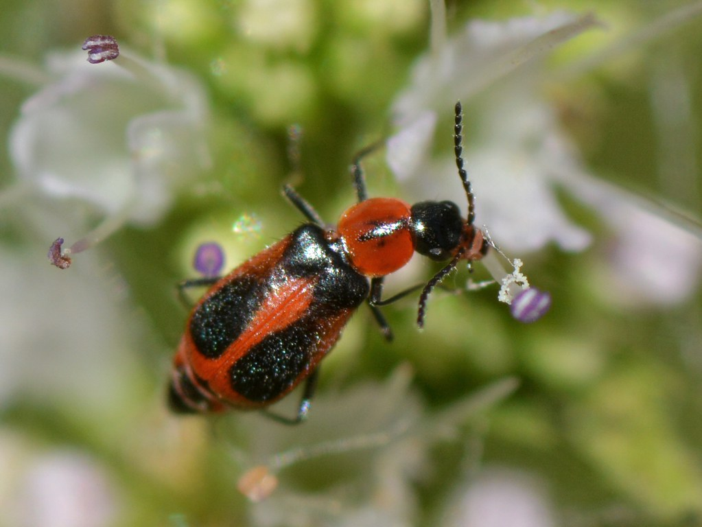 Beetle munching mint flowers - Collops, Melyridae, Coleopt