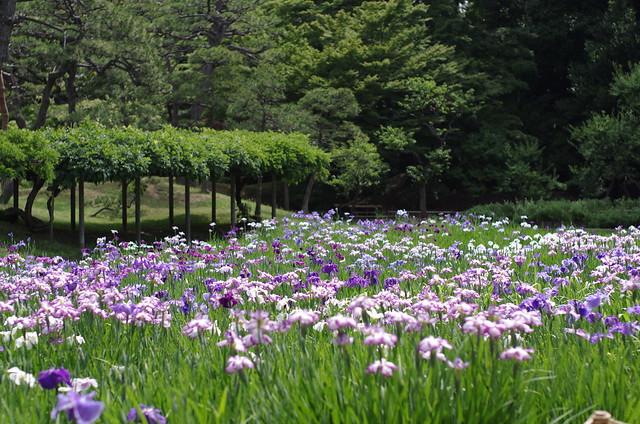 Iris at Koishikawa K?rakuen Garden