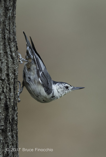 Female White-breasted Nuthatch Pauses On Its Way Down