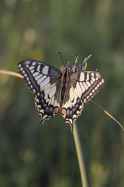 Machaonas / Papilio machaon / Swallowtail Butterfly