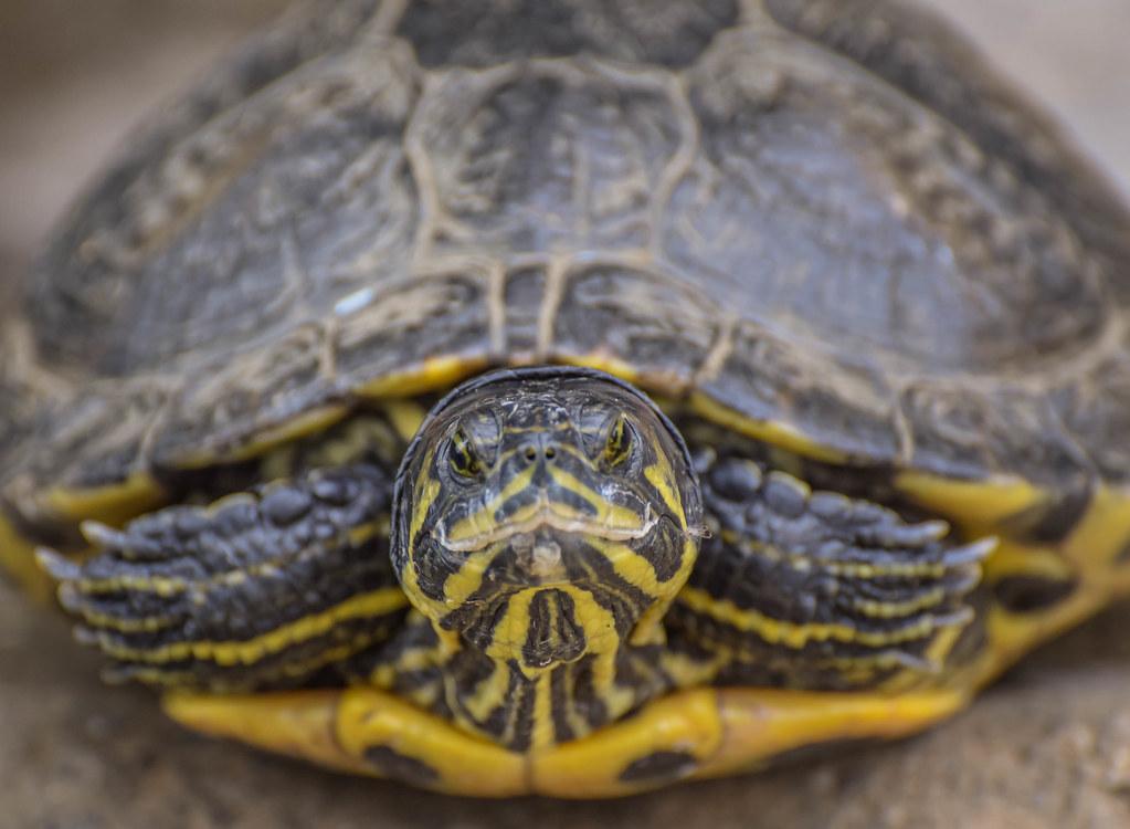 tortuga de florida