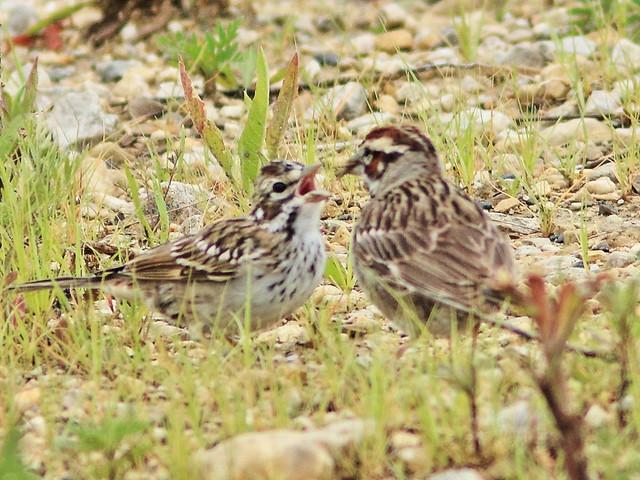 Lark Sparrow juvenile fed by adult SHARP 04-20170710