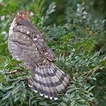Juvenile Cooper's Hawk (Accipiter cooperii}