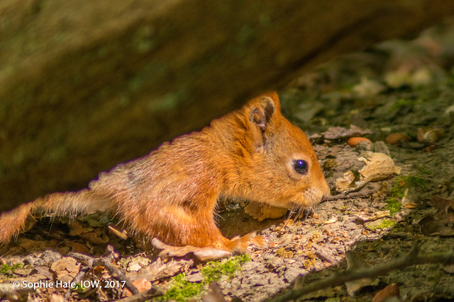 Red Squirrel IOW