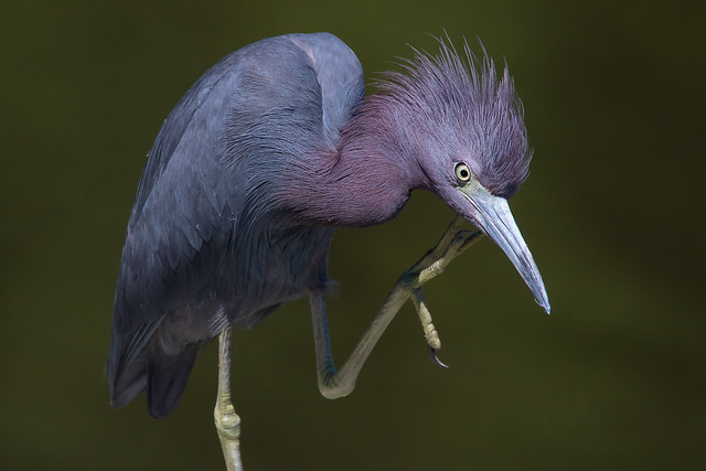 Little Blue Heron 7-30-2017-186