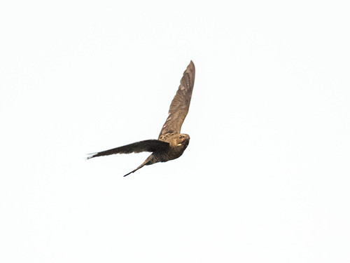 Band-tailed Nighthawk | by nickathanas