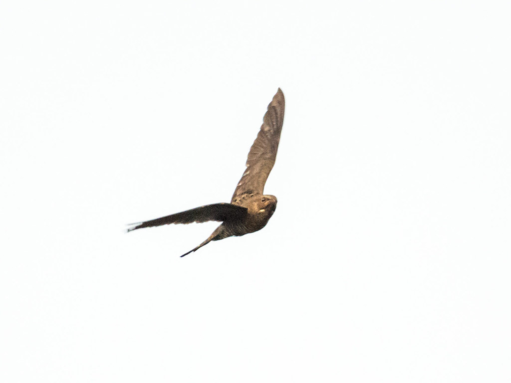 Band-tailed Nighthawk