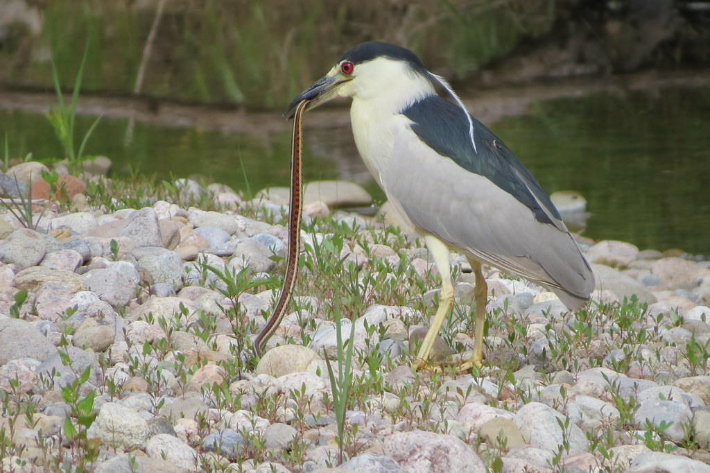 Black-crowned Night-Heron and New Mexico Garter Snake
