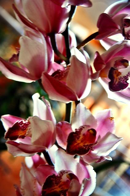Para mis amigos de flickr : orquídeas de Misiones