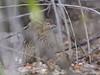 Perdiz Chilena (Nothoprocta perdicaria) Chilean tinamou by Cristián Pinto